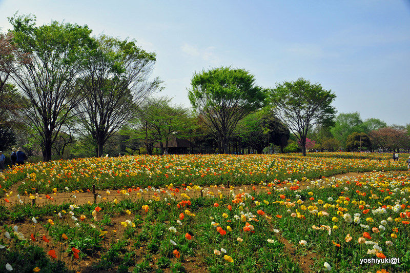 A field of Icelandic poppies,Showa Memorial Park