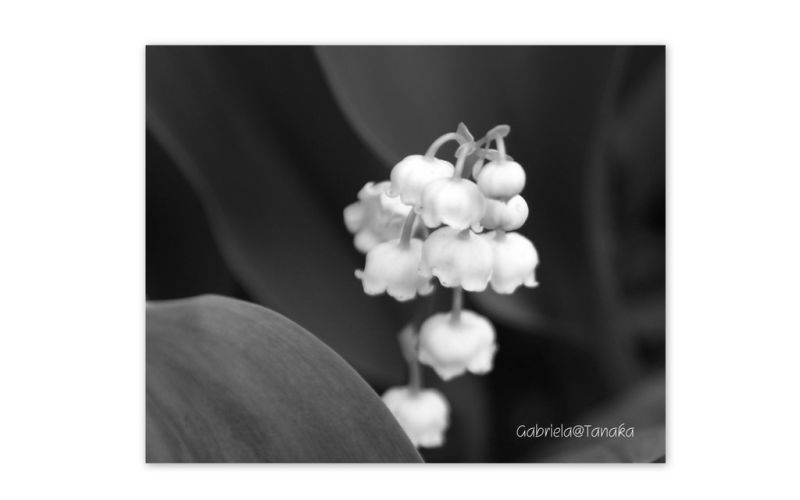 Lily-of-the-Valley, an interpretation in monochrom