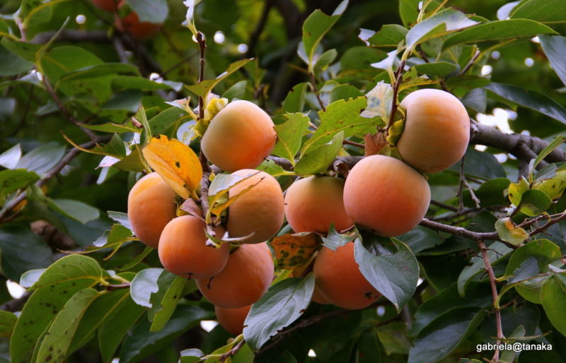 Persimmons are ripe for pickup