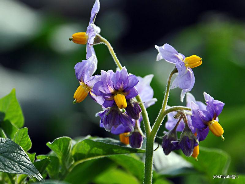Potato has beautiful flowers