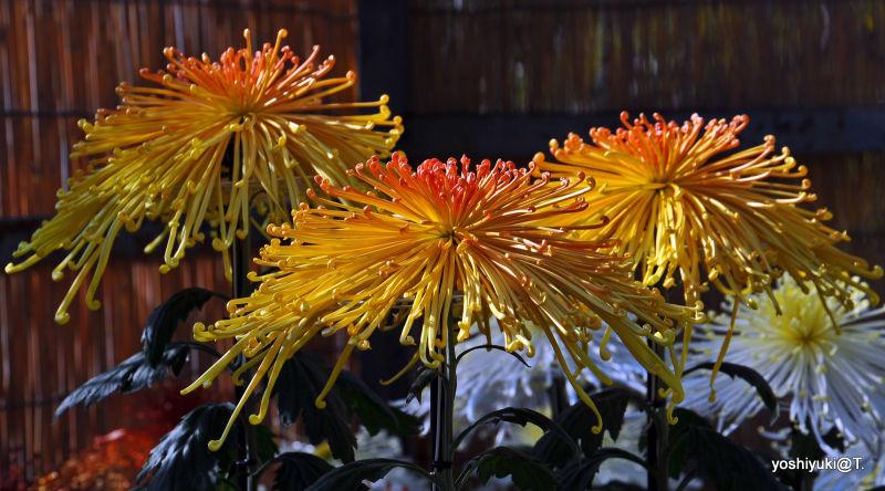 Chrysanthemum show in Japan