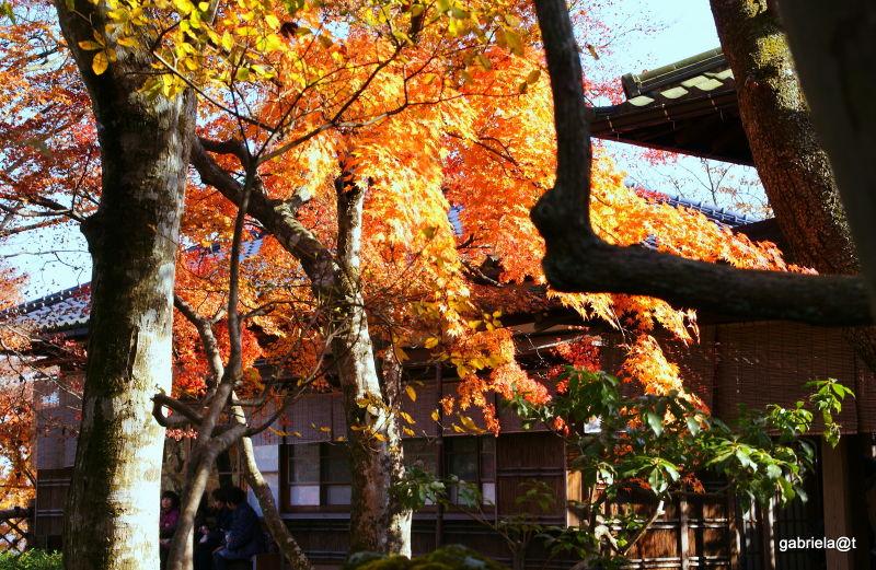 Maples in autumn by a teahouse,Gora,Hakone