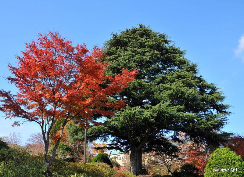 Trees in Gora Park,Hakone