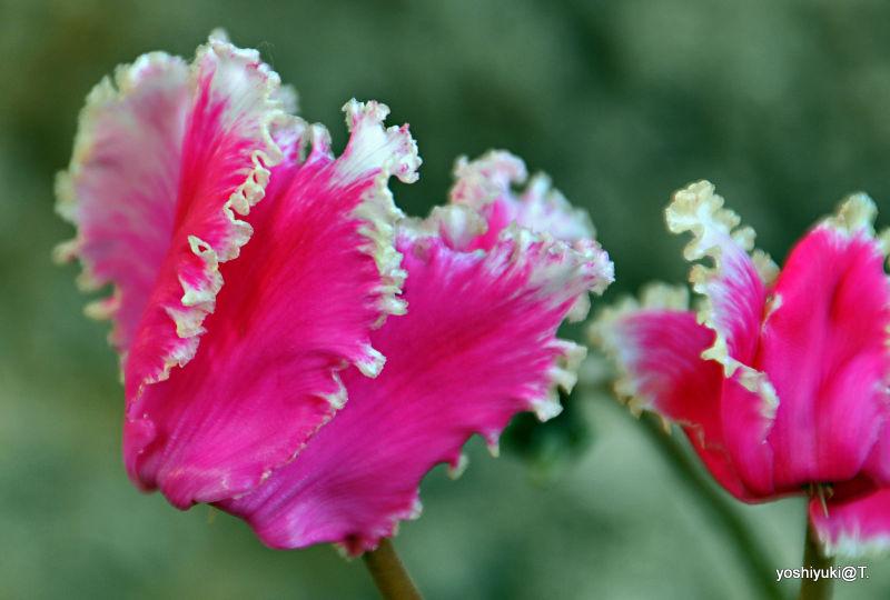 Seasonal flowers - cyclamen