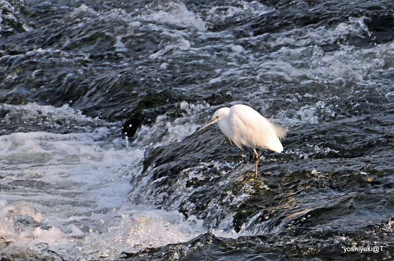 White heron in the river,Tokaichiba,Kanagawa