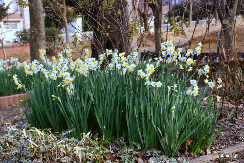 Narcissi blooming in winter, Kirigaoka, Kanagawa