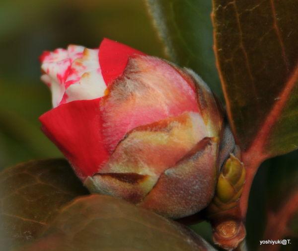 Fat bud of camellia,Kanagawa