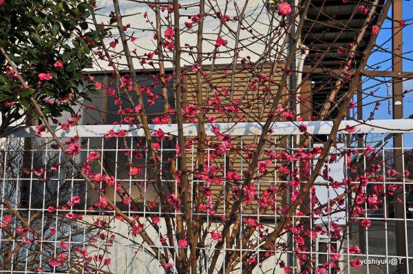 Plum blossoms,Kanagawa