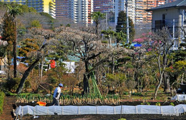 Work has started in the gardens, Kanagawa