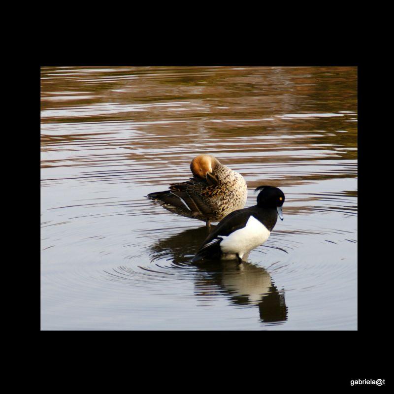 Ducks on the pond at Sankeien,Yokohama