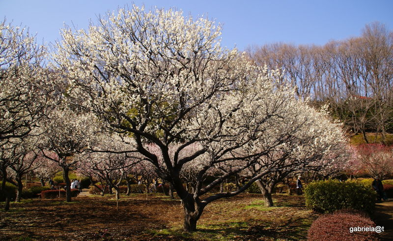 Orchard of plum trees at Yakushiike,Machida