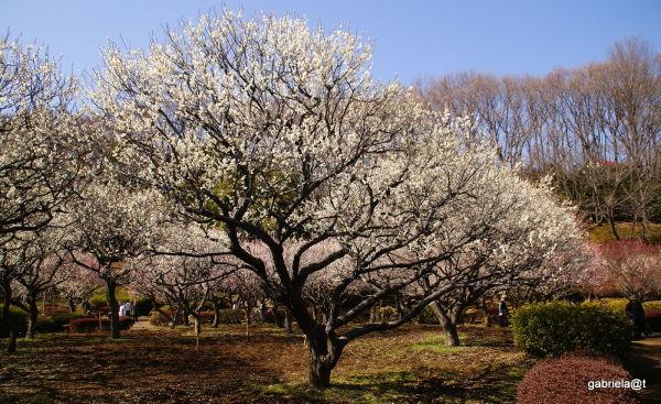 Orchard of plum trees at Yakushiike,Machida