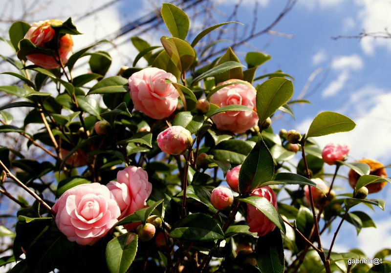 Camellia trees blooming profusely in March