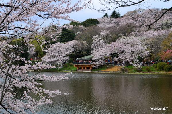 View of Mitsuike Park cherry blossoms,Yokohama