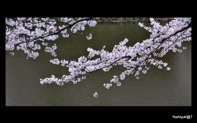 Branch full of cherry blossoms over pond,Yokohama