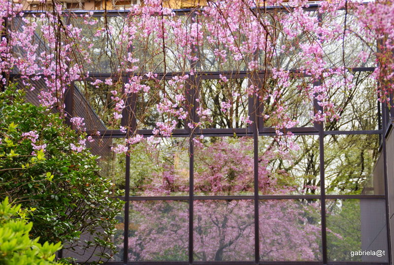 Reflection of a tree in bloom