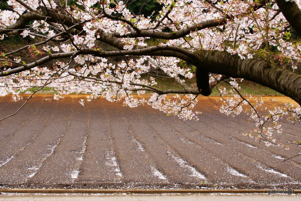 Cherry petals in the field