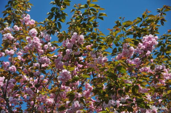 The last cherry blossoms,Kanagawa prefecture
