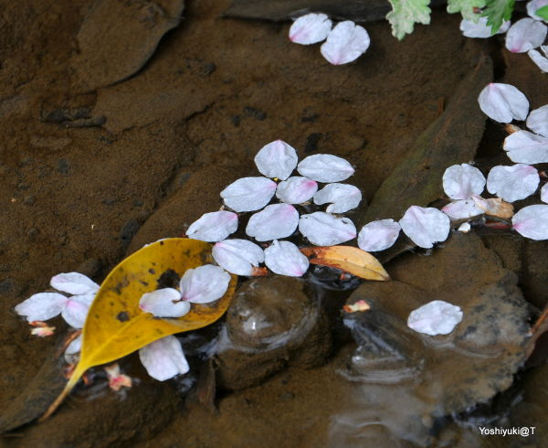Cherry petals floating in the creek,Wakabadai