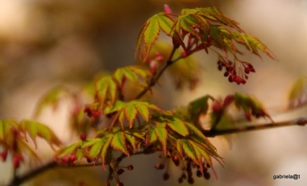 A branch of Japanese maple in spring