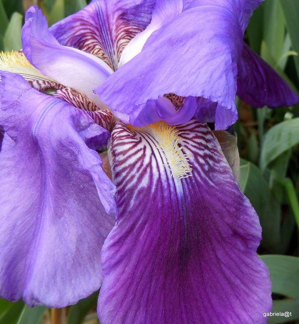 Bearded iris in the garden,Kanagawa