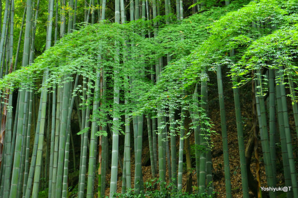 New maple leaves and bamboo grove,Kamakura