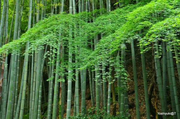New maple leaves and bamboo grove,Kamakura
