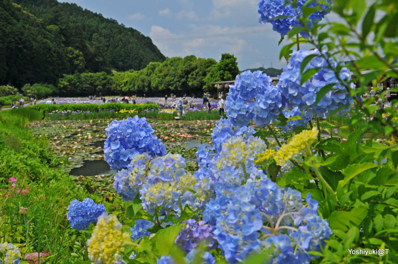 View of the Pond at Kamo Iris Nursery,Kakegawa