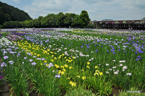 View of Kamo Iris Nursery on a hot day,Kakegawa