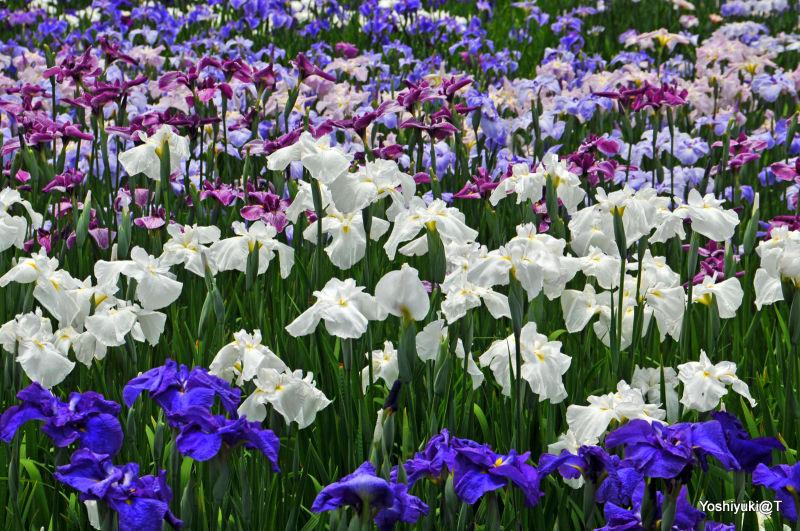 The iris garden at Kakegawa, Shizuoka prefecture