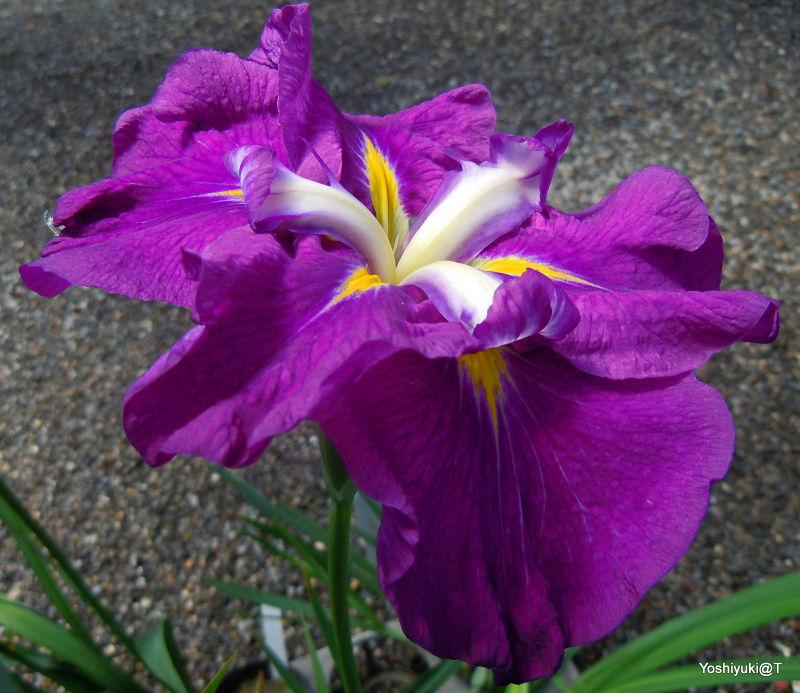Japanese iris specimen,Kamo Nursery,Kakegawa