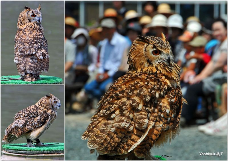 Rock Eagle Owl on show, Kakegawa Kachoen