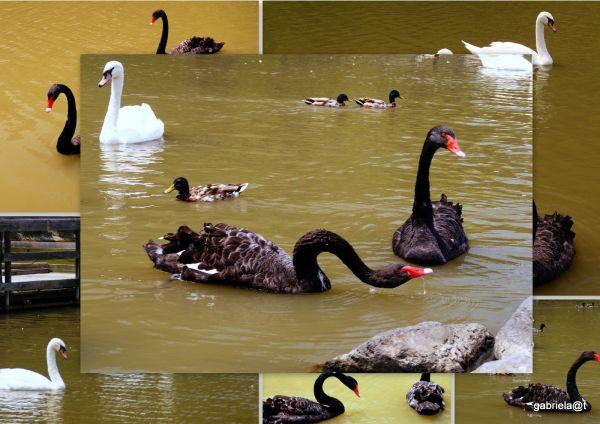 Black swans drinking water,Kakegawa Kachoen
