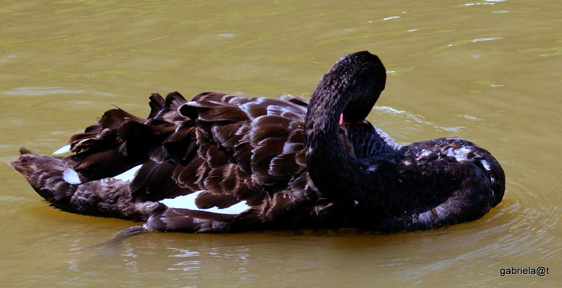 Black Swan at Kakagawa Kachoen