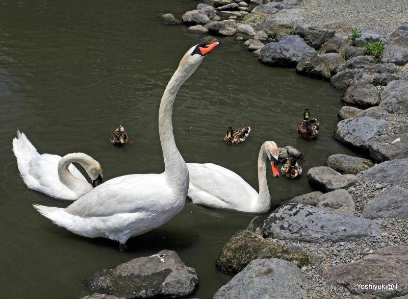 Family of white swans,Kakegawa Kachoen