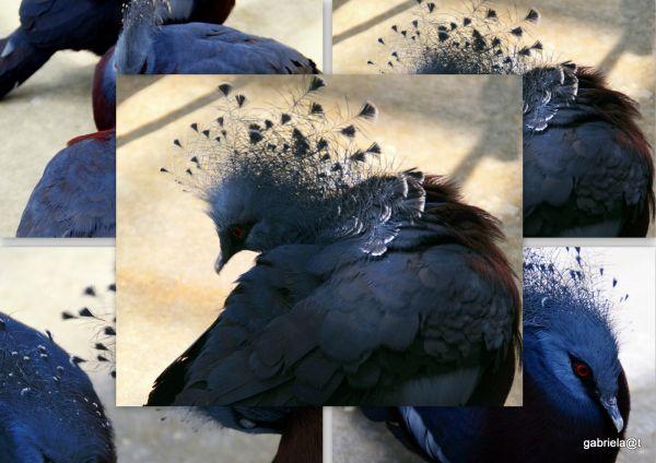 Victoria Crowned Pigeon,Kakegawa Kachoen,Shizuoka