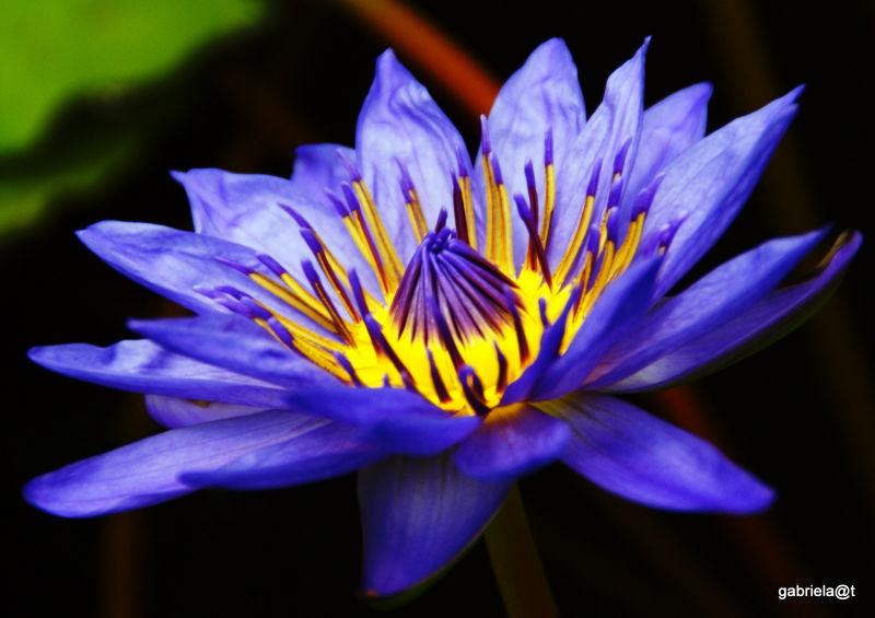 Blue tropical water lily,Kakegawa Kachoen,Shizuoka