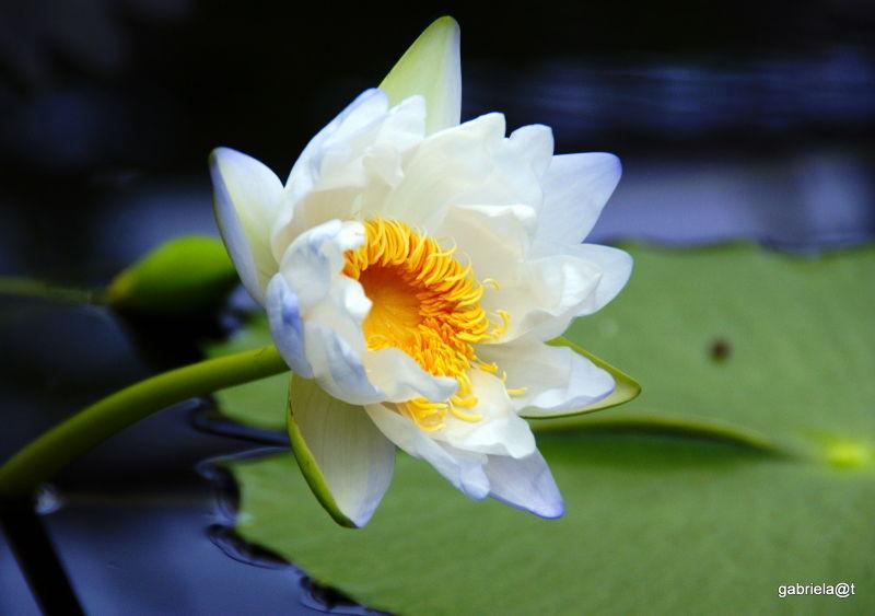 Tropical lily in the pool at Kakegawa Kachoen