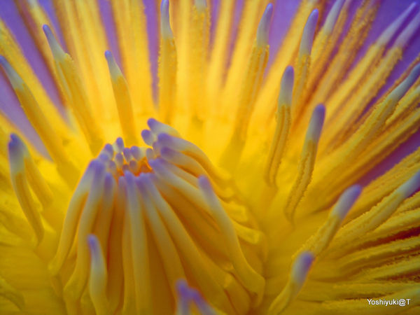 Tropical water lily - a macro