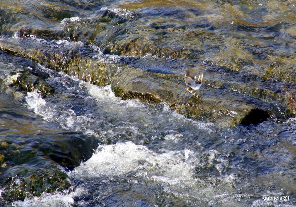 Tiny bird hunting in the river, Kanagawa