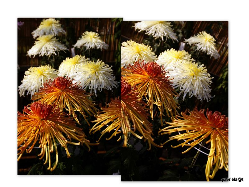 Collage with spider chrysanthemums