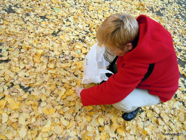 My wife collecting ginkgo leaves,Kanagawa