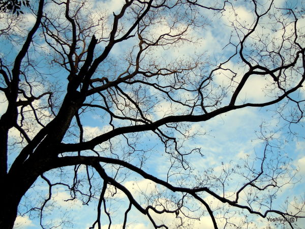 Tree silhouetted against an winter sky,Kanagawa