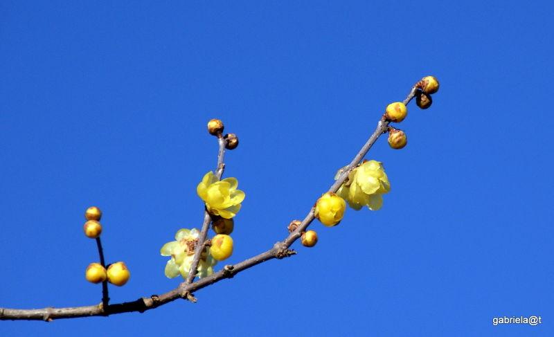 Yellow plum blooms in January,Kanagawa