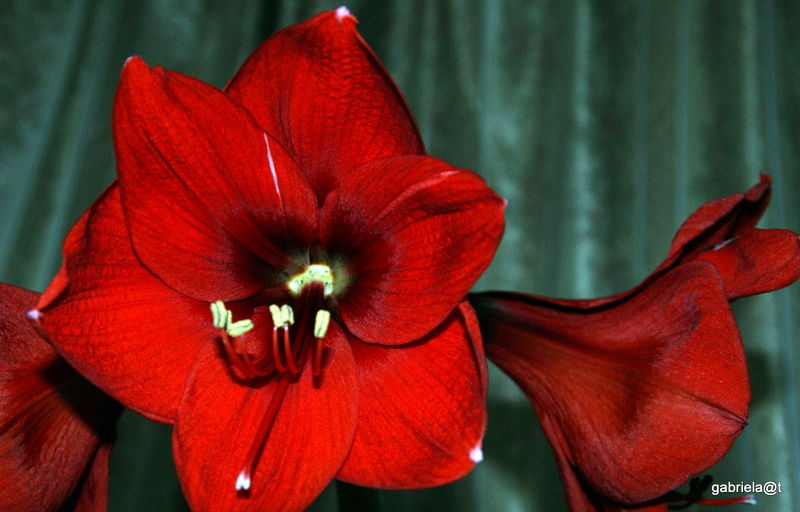 My pets - Red Lion Amaryllis