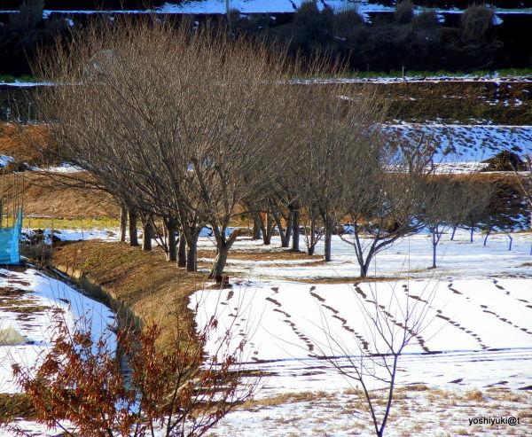 Orchard and gardens in snow,Kanagawa