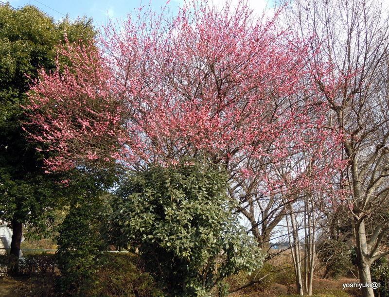 Japanese plum tree in full bloom,Kanagawa