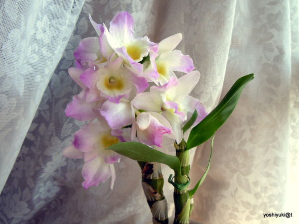 Our little Dendrobium at home, Kanagawa