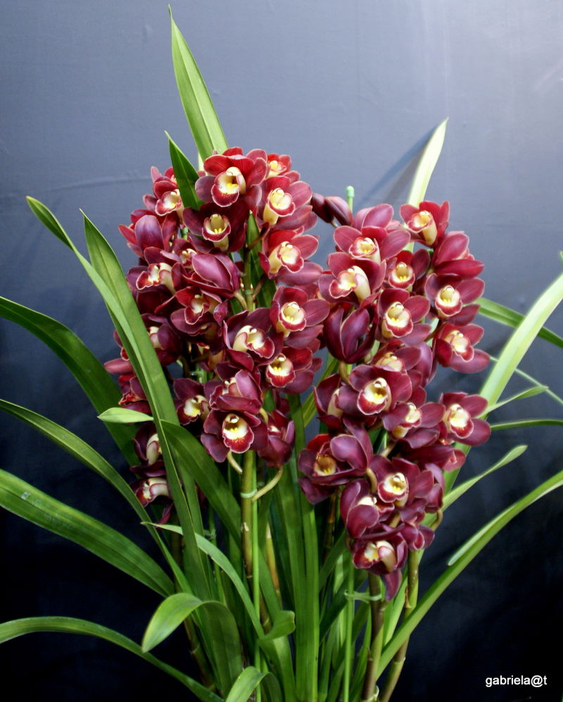 A pot with a rich display of red cymbidium