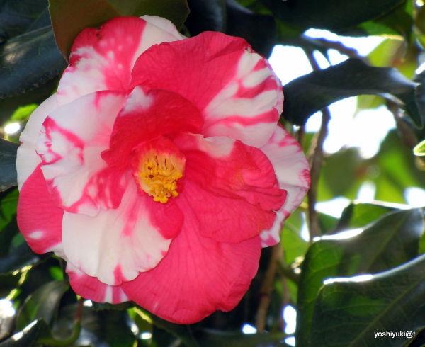 Camellia japonica,2011,Kanagawa